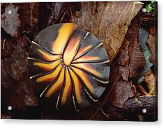 Millipede Rolled Into Ball Position Acrylic Print by Mark Moffett