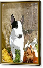 Minature Bull Terrier Acrylic Print by One Rude Dawg Orcutt
