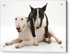 Miniature Bull Terrier Bitch, Lily Acrylic Print by Mark Taylor