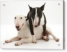 Miniature Bull Terrier Bitch, Lily Acrylic Print