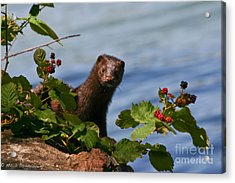 Acrylic Print featuring the photograph Mink In Blackberries. by Mitch Shindelbower