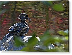 Missy Wood Duck Acrylic Print by Sharon Talson