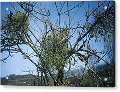 Mistletoe On A Tree Acrylic Print by Archie Young