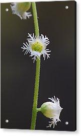 Miterwort Flowers Acrylic Print