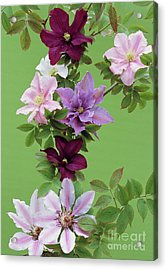 Mixed Clematis Flowers Acrylic Print by Archie Young