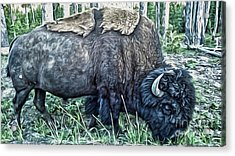Molting Bison In Yellowstone Acrylic Print by Gregory Dyer
