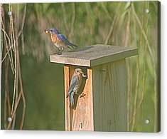 Mom And Dad Bluebird Bringing Home Lunch Acrylic Print by Jeanne Kay Juhos