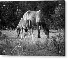 Mom And Foal Grazing At Sunset Acrylic Print by Kim Galluzzo Wozniak