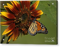 Monarch And The Bee Acrylic Print