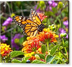 Monarch At Lantana Acrylic Print