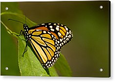 Monarch Beauty Acrylic Print by Dean Bennett
