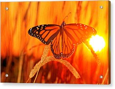 Monarch Beauty Acrylic Print by Emily Stauring