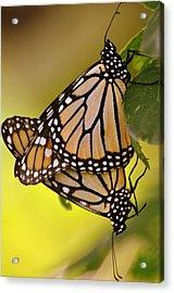 Monarch Bliss Acrylic Print by Marty Koch