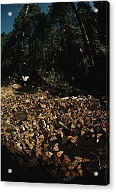 Monarch Butterflies Draw Water, A Sign Acrylic Print by Bianca Lavies