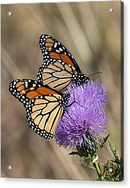 Acrylic Print featuring the photograph Monarch Butterflies On Field Thistle Din162 by Gerry Gantt