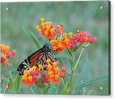 Monarch Butterfly Closeup Acrylic Print