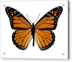 Monarch Butterfly Acrylic Print by Dr Keith Wheeler