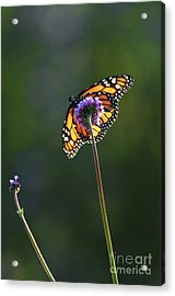 Monarch Butterfly Acrylic Print by Elena Elisseeva