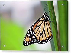 Monarch Butterfly On Leaf Acrylic Print by Pndtphoto