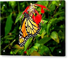 Acrylic Print featuring the photograph Monarch Butterfly On Red Flowers by Jodi Terracina