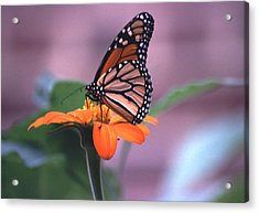 Acrylic Print featuring the photograph Monarch Butterfly On Tithonia Sunflower by Tom Wurl