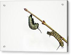 Monarch Caterpillar Acrylic Print by Jim McKinley