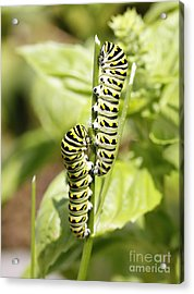 Monarch Caterpillars Acrylic Print by Denise Pohl