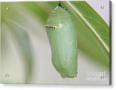 Monarch Chrysalis Acrylic Print by April Wietrecki Green