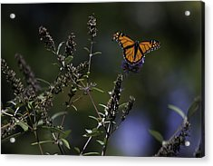 Monarch In Morning Light Acrylic Print by Rob Travis