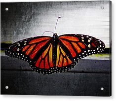 Monarch Acrylic Print by Julia Wilcox
