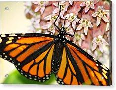 Monarch On Milkweed 5 Acrylic Print