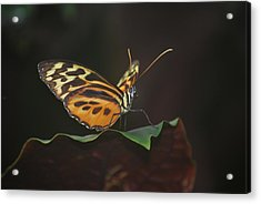 Monarch Perch Acrylic Print by Amee Cave