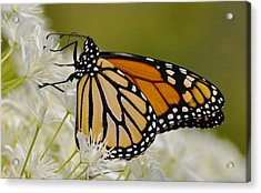 Monarch  Acrylic Print by Rodney Campbell