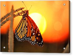 Monarch Sunset Acrylic Print by Emily Stauring