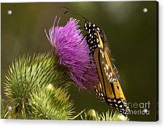 Monarch Thistle Munching Acrylic Print by Darleen Stry