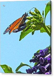 Monarch With Purple Flower Acrylic Print