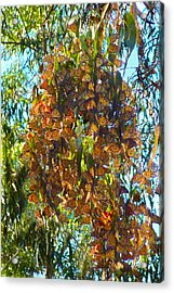 Monarchs At Rest Acrylic Print