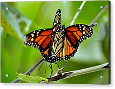 Monarchs Deluxe Acrylic Print by Marty Koch