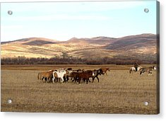 Mongolian Horses Acrylic Print by Diane Height