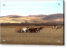 Mongolian Horses Acrylic Print
