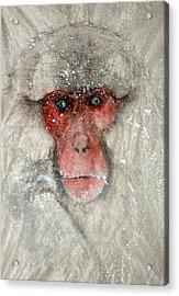 Monkey Staring  At Me Acrylic Print