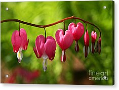 Month Of May Bleeding Hearts Acrylic Print