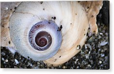 Acrylic Print featuring the photograph Moon Shell Is A Woman by Ronda Broatch