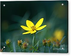 Acrylic Print featuring the photograph Moonbeam Coreopsis by Denise Pohl
