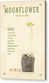 Moonflower Vine Seedling  Acrylic Print by Anne Kitzman