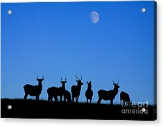 Moonlighting Acrylic Print