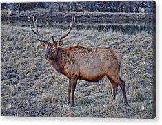 Moose 2 Acrylic Print by Brenda Becker