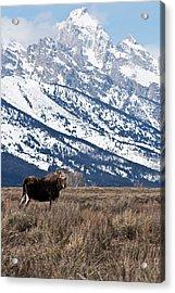 Moose And Grand Teton Grand Teton National Park Acrylic Print