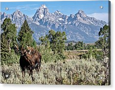 Moose And The Grand Acrylic Print by Rodney Cammauf