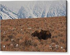 Moose Grand Teton National Park Acrylic Print